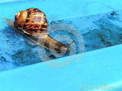 A close-up view of a garden snail navigating through water.