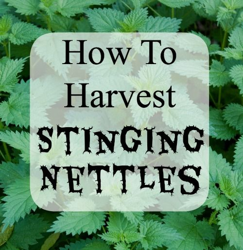 Learn how to harvest stinging nettles! Great info for foragers.