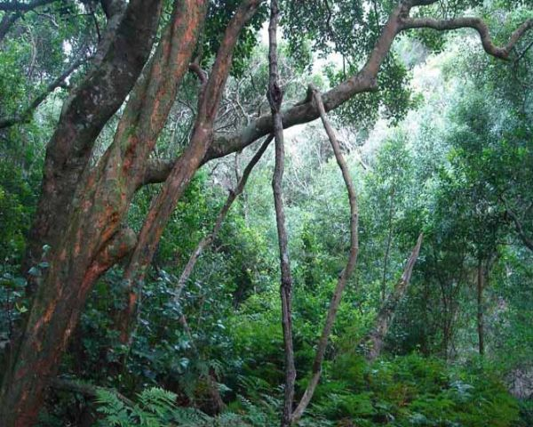 The forests of the Garden Route National Park tell stories of exploration and exploitation, most famously captured in famous South African author, Dalene Matthee's enigmatic stories. These speak of abundant roaming elephants, later nearly hunted to extinction and of the poor woodcutters' meagrely existence. Yet they also tell stories of hope where gold was discovered; the later protection of the forest and of promises of a brighter future.    Today the woodcutters and gold diggers are gone…