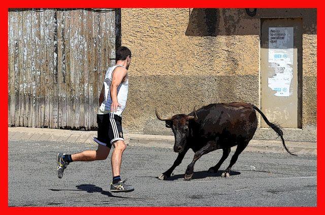 Santacara: Vacas de Vicente Domínguez