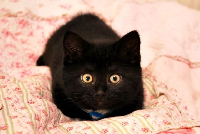 cute adopted black kitten Kiwi | cats.........all kinds of ...