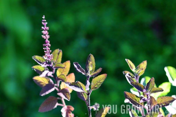 Last fall my friend Barry put me onto pots of green and purple 'Holy' basil (Ocimum tenuiflorum) for sale at a neighbourhood Indian food store. 'Holy' basil, also known as T…