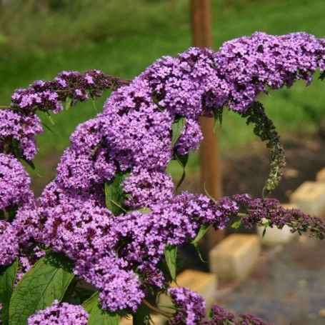 Liliac de Vara Buddleja Purple Prince - RoyalPlant.ro