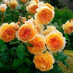 Дом и Сад - Роза плетистая Принцеса Маргарет