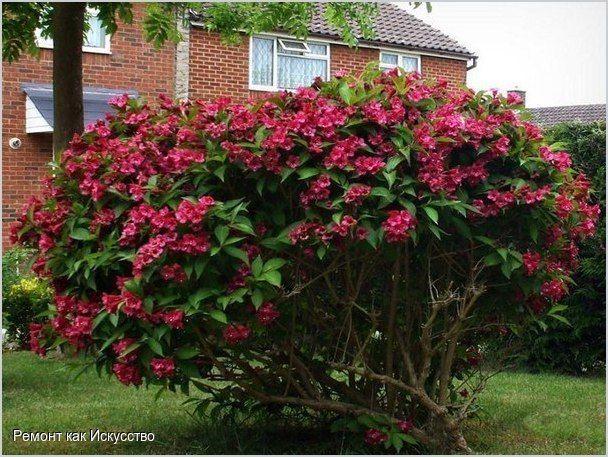Вейгела (Weigela) — листопадный кустарник семейства жимолостных, способный эффектно украсить ваш сад. Радовать розовыми, красными, кремовыми, желтыми и белыми цветами-колокольчиками вейгела будет два раза в год — весной и в конце лета. Примечательно, что окраска соцветий во время цветения неодинакова: только что раскрывшиеся венчики — бледные, но постепенно они набирают силу и становятся более яркими.  Посадка вейгелы Лучшее время для посадки — март-апрель. При осенней высадке саженцы не…