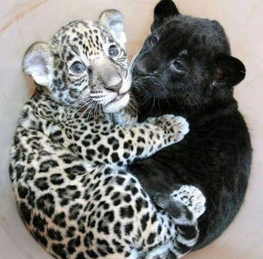 Baby Jaguar Cuddling With Baby Panther
