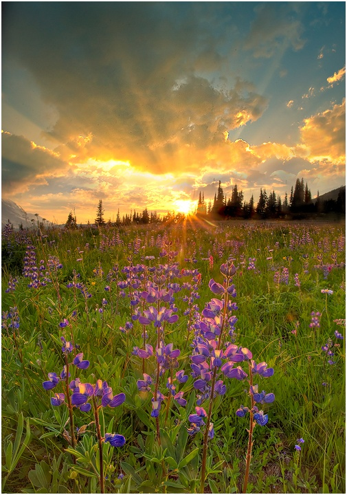Sunburst at Mt. Rainier over alpine meadow | Washington - USA