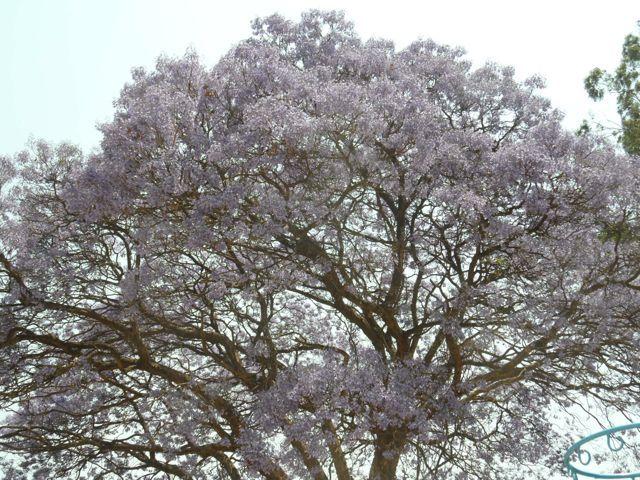 #Jacaranda #Tree