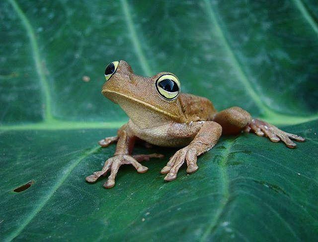 """Cuántas veces has usado la expresión """"como una rana platanera""""? En Venezuela es muy común está referencia pero conoces a la rana platanera?  Esta ranita es bastante común en casi todo el país sin embargo cada vez es más difícil encontrarla.  La contaminación de los cuerpos de agua y la deforestación son tal vez la causa de que ya no sea tan común encontrarse con esta ranita que era tan común en otras épocas que hasta se metía en las casas.  La pérdida de la biodiversidad no solo afecta a los…"""