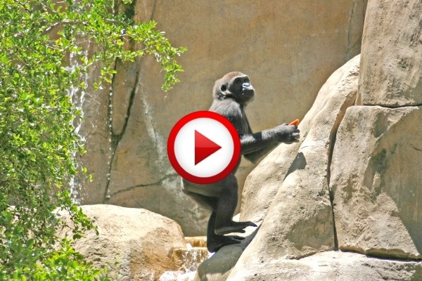 Touched By A Wild Mountain Gorilla Video #animals, #monkeys, #videos, #pinsland, https://apps.facebook.com/yangutu