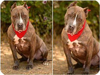 Chatsworth, CA - Staffordshire Bull Terrier. Meet ROGER, a dog for adoption. http://www.adoptapet.com/pet/16173339-chatsworth-california-staffordshire-bull-terrier