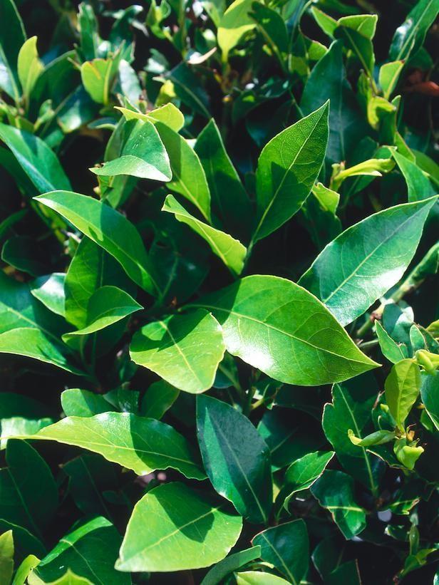 Bay laurel (Laurus nobilis) - Landscapers' Picks: The 10 Best Shrubs for Pots on HGTV