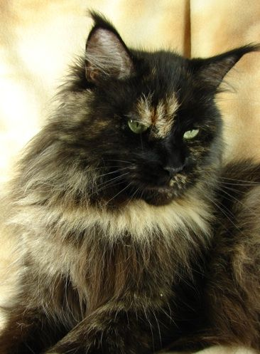 Maine Coon, Black Torti Solid (f). Mainelyclassic Molly of Maine Delite