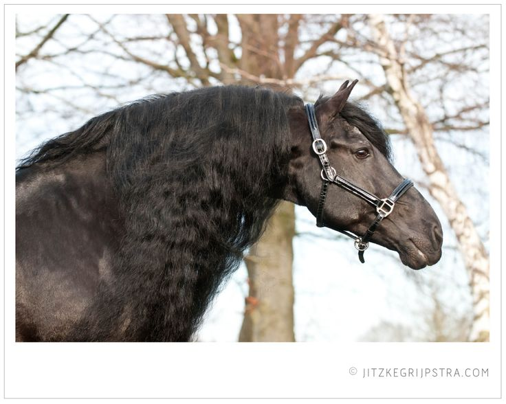 Brandus 345. Captured by Jitzke Grijpstra Photography. Friesian Stallion KFPS