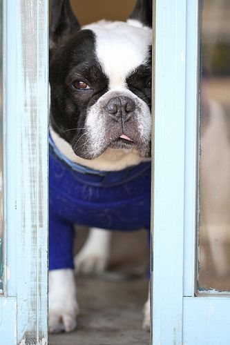 Boston Terrier - if I ever see one of these at the rescue again, I am going to be in biiiiiig trouuuuuble!