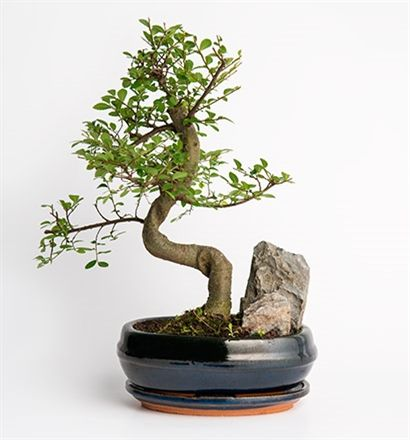 Bodur ağaç görünümüyle bulunduğu ortamı güzelleştiren Bonsai bitkisi, sevdikleriniz için çok özel ve anlamlı bir jest olacak. Bonsai Bakımına Dair Bilinmesi Gerekenler: Bonsai bitkinizi direkt güneş almayan aydınlık bir yerde ve toprağı sürekli nemli olacak şekilde muhafaza etmeniz gerekir.   Not: Bonsai saksısı stok durumuna göre farklı renkte gönderilebilir.
