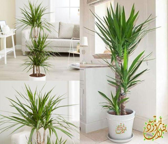 Pin By Qahtanadnaeef On نباتات منزلية Plants Dracaena Decor