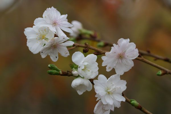 Prunus x subhirtella 'Autumnalis' - A super Winter flowering Cherry! Just in time for Christmas! - Mercurelli's Garden Design top 5 Christmas choices