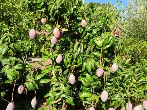 Un arbol frutal el mango fotos de torrox pinterest for Arboles frutales para jardin