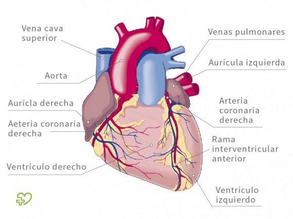 Anatomía del corazón : Capas del corazón, Ventrículos, Fisiología - Onmeda.es