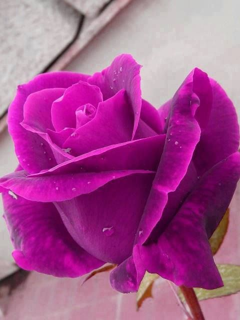 110 best ЦВЕТЫ images on Pinterest | Pink roses, Beautiful flowers ...
