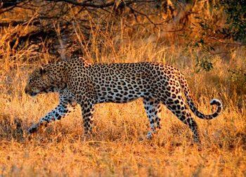 Male Leopard Kruger National Park
