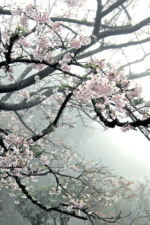 "Sakura. ""Because of you, in gardens of blossoming flowers I ache from the…"