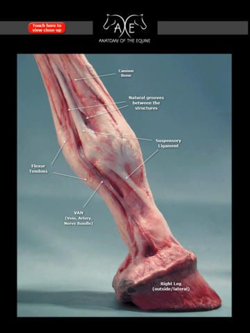 This is a picture of a horse's leg and inside layers of the corium. It shows the tendons, ligaments, and the veins in the leg.