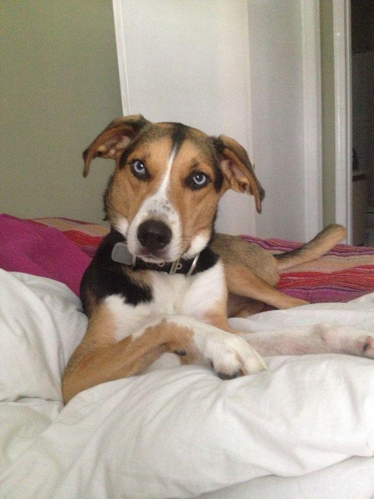 husky walker hound mix #puppy #puppylove ; image via ...