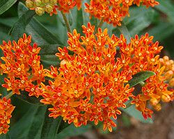 Butterfly Weed is one of the many species of flowers native to Michigan. Find out what other summer blooming native plants you can include in your garden today!