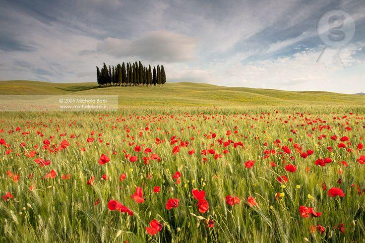 poppy field with cypress trees