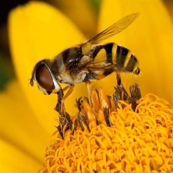 #Bee pollen is a super food that possesses all of the #nutrients essential to sustain human life, with a breakdown of 55 percent carbohydrates, 35 percent protein, three percent vitamins and minerals, two percent fatty acids and five percent other substances. http://www.naturalnews.com/038102_bee_pollen_superfood_cancer.html
