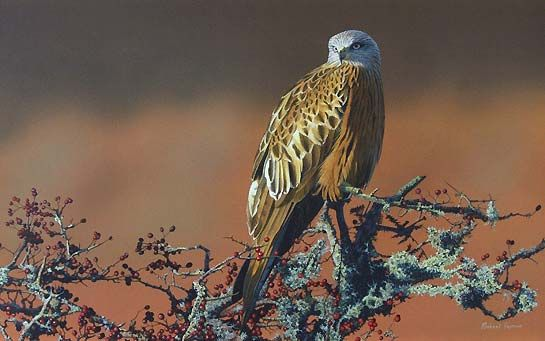 Red Kite Bird Paintings