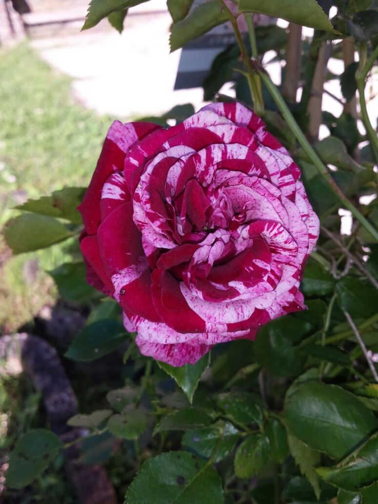 103 best Rosen images on Pinterest Plants, Flowers and Beautiful roses