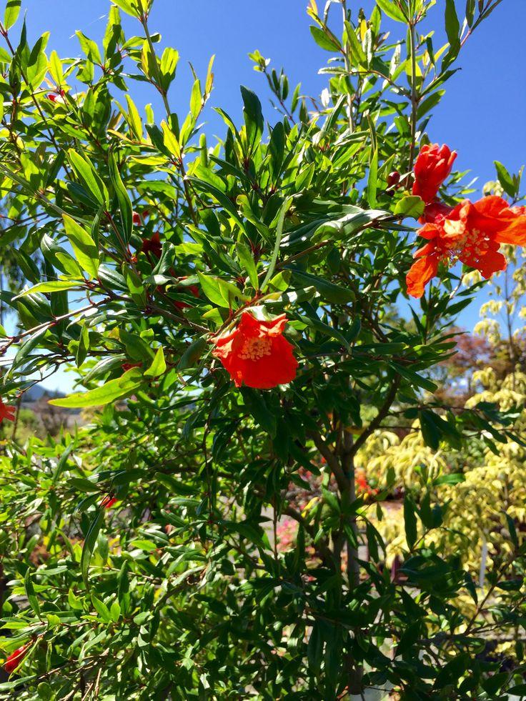 """Wonderful"" Pomegranate Tree Roger's Gardens, Springfield"