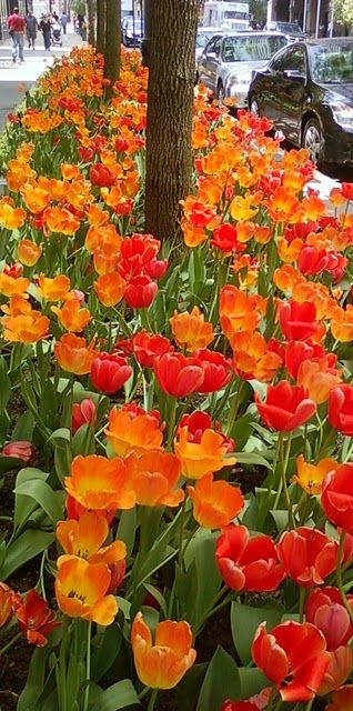 there is nothing happier nor more energizing than orange tulips, especially when visible from the city street!