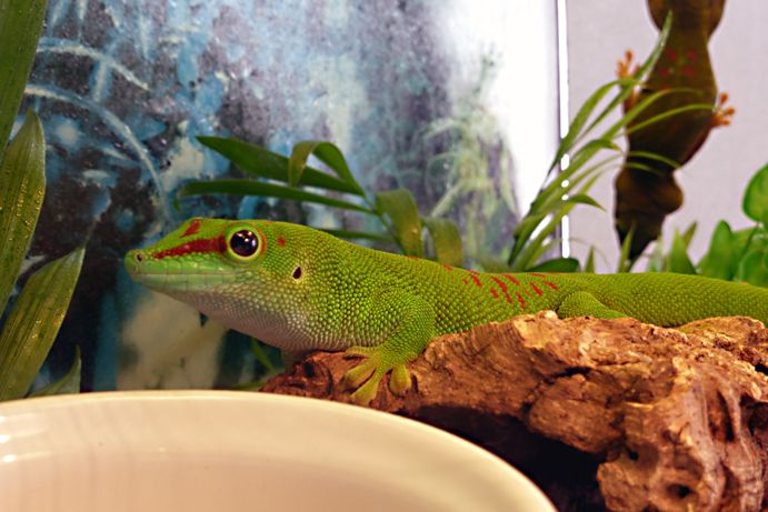 "#Phelsuma #Madagascariensis #Grandis ""Hight Red"""