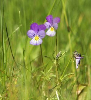 Αγριοπανσές (Viola Tricolour)