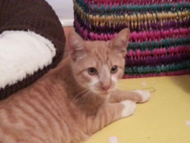 An orange tabby kitten