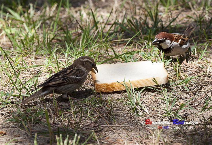Auch unter den Sperlingen gibt es Streit ums Essen bis jeder seinen Platz gefunden hat. #feldsperling #vögel #sperling #urlaub #venedig #tierwelt #italien #adria #meer #mare# sea