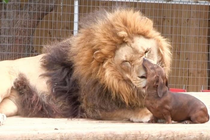 Dachshund Dentist Cleans Lion S Teeth Unlikely Animal Friends