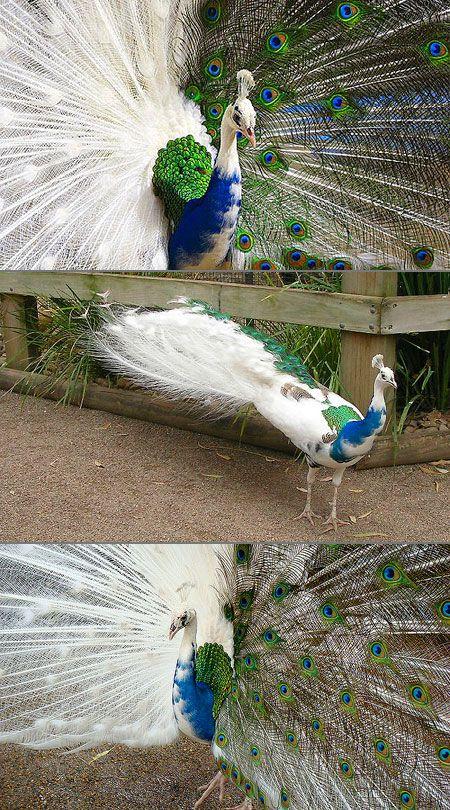 Pied Indian Blue Peackocs - http://icantbelieveitblog.blogspot.com/2012/12/10-stunning-albino-animals.html