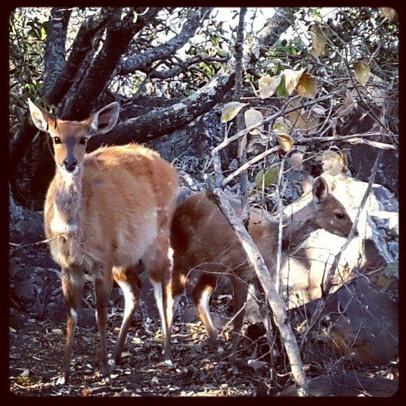 Antelopes at Klein Kariba, Limpopo