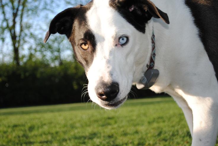 73 Best Alaskan Malamute Mixed Images On Pinterest Alaskan Malamute German Shepherd Dogs And
