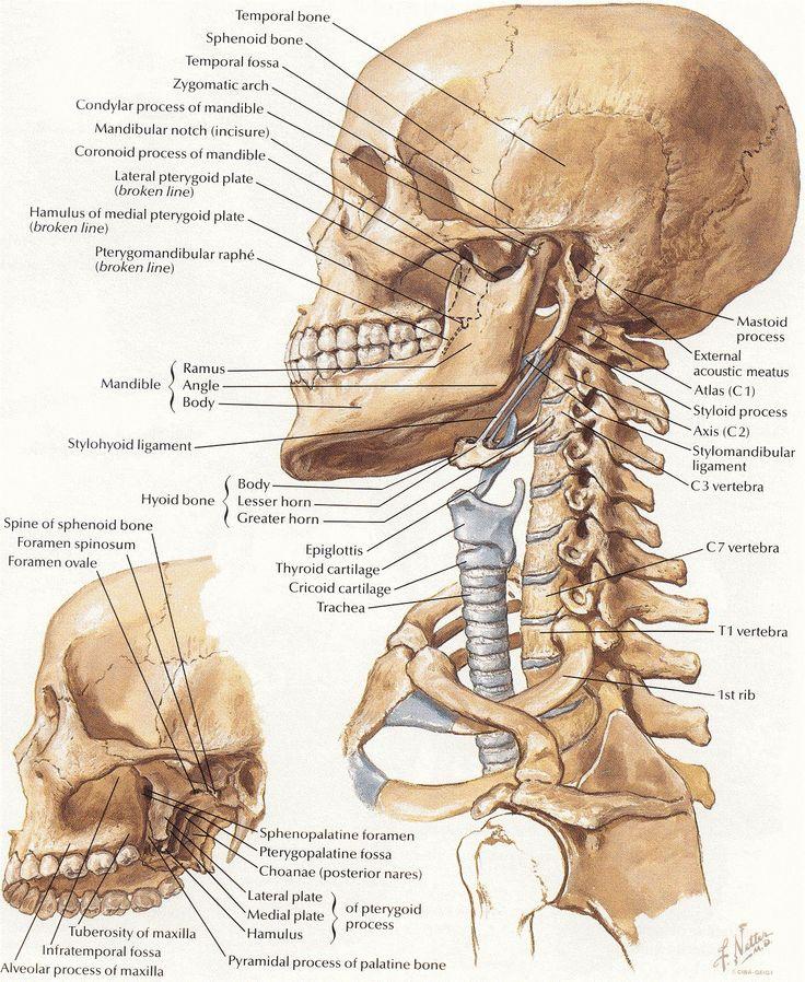 netter 009 head neck bones | fairy tooth | pinterest | bone jewelry, Human Body
