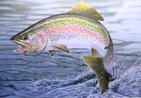 """Rainbow Trout  (Oncorhynchus mykiss) is a species of salmonid native to cold-water tributaries of the Pacific Ocean in Asia and North America. The steelhead (sometimes """"steelhead trout"""") is an anadromous (sea-run) form of the coastal rainbow trout (O. m. irideus)."""