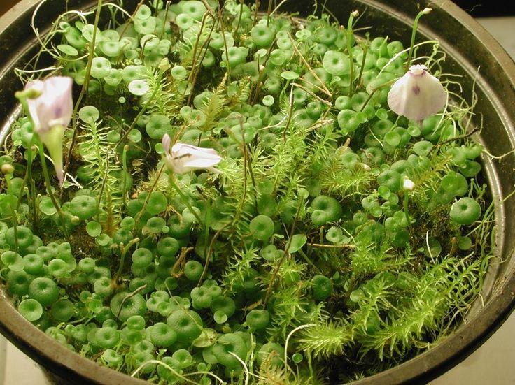 Entre las plantas carnívoras, está la Utricularia una planta insectívora.