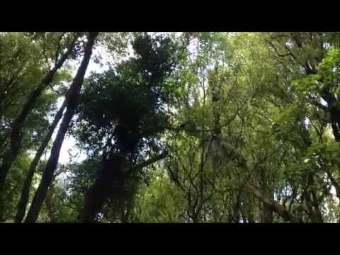 Tui Bird Sounds - Manawatu Gorge Track, New Zealand