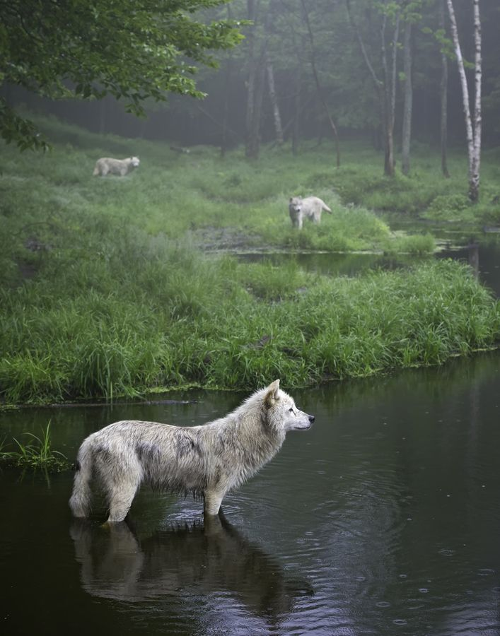 Wolves in Quebec, Canada  - by Daniel Parent: Forests, Wolf Packs, Quebec Canada, Mists, Three Wolves, White Wolves, Photo, Beautiful Creatures, Animal
