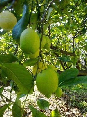 más de 25 ideas en tendencia sobre limonero en pinterest